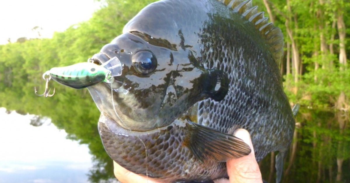 Bluegill Feature Image 2.jpg